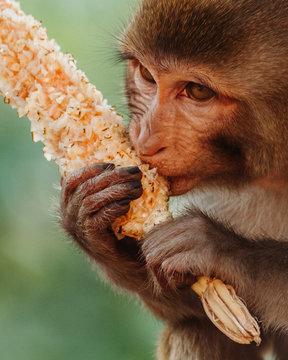 Closeup portrait of a monkey eating the corn