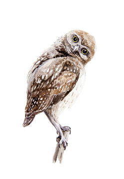 Brown owl watercolor illustration. Small wild nature bird sketch sitting on a branch. Isolated on white background