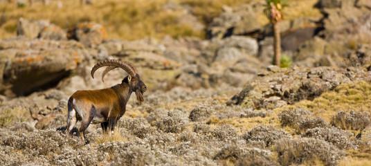 Fototapeta Cabra Ibex Walia, Montañas Simien, Etiopia, Africa obraz