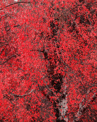 Surreal alternate red color vibrant forest woodland Autumn Fall landscape