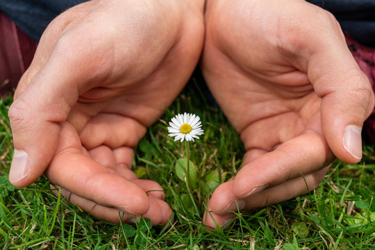Closeup of male caucasian hands holding and protecting a small daisy flower. Charity, ecology, climate change and nature awareness concept.