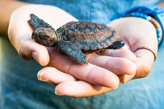 Rescued Loggerhead Turtle hatching held in the hand