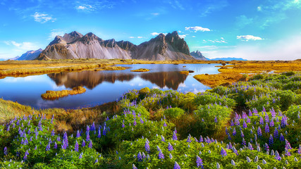 Beautiful sunny day and lupine flowers on Stokksnes cape in Iceland.