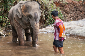 Elephant with its Mahout into the River