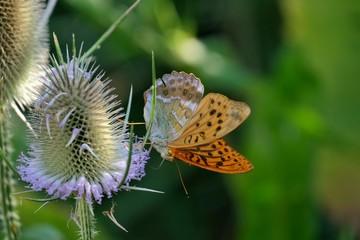 Papillon sur une fleur de chardon en macro.