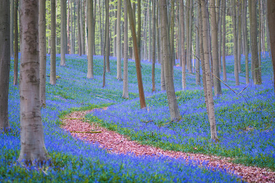 Path leading through fields of bluebells
