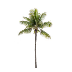 Photo of isolated coconut palm tree
