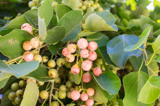 Assyrian plum (Cordia myxa) fruits in Oeiras, Piaui - Brazil