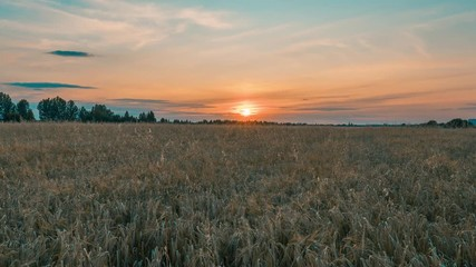 Wall Mural - Beautiful scenic sunset with rays of sun shining through clouds in sky 4K UHD Timelapse. Yellow sunset over the field of wheat. Sun sets over horizon closeup. Beauty of nature, agriculture, harvest