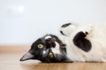 Obraz Comportamiento de un gato doméstico hembra - fototapety do salonu