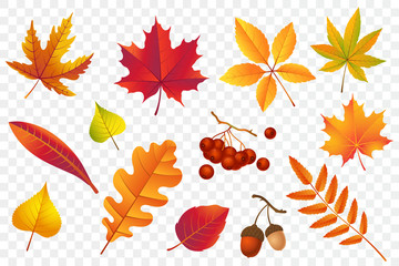 Autumn falling leaves isolated on transparent background. Yellow foliage collection. Rowan,oak, maple, birch and acorns. Colorful autumn leaf set. Vector illustration.