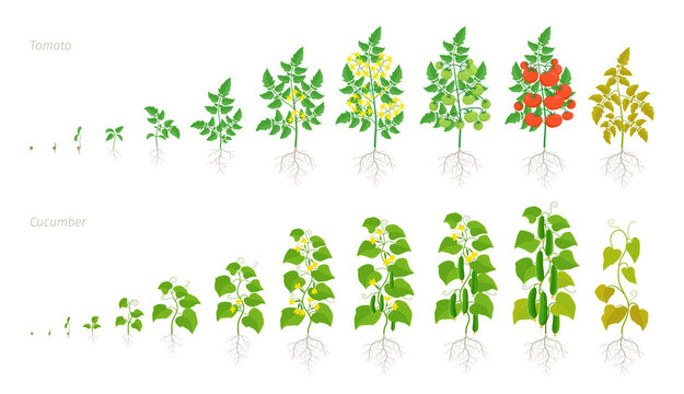 Set growth stages of tomato and cucumber plant. Ripening period. Life cycle of the vegetables harvest. Animation development progression. Vector illustration.