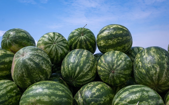Harvest of ripe watermelons in the dry grass.