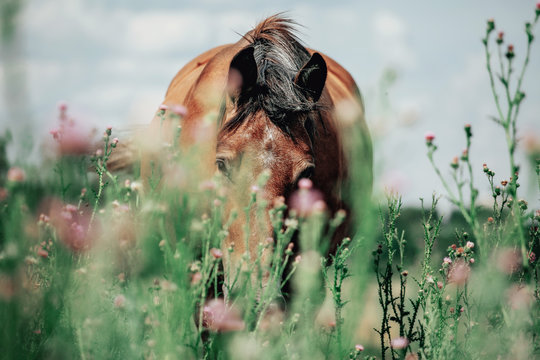 Beautiful red horse grazing in a meadow