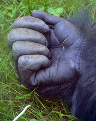 Gorillas hand are ground-dwelling, predominantly herbivorous apes that inhabit the forests of central Africa. The DNA of gorillas is highly similar to that of humans, from 95-99%