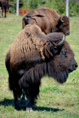 Canvas Prints Bison American bison or simply bison, also known as the American buffalo or simply buffalo, is a North American species of bison that once roamed the grasslands of North America in vast herds
