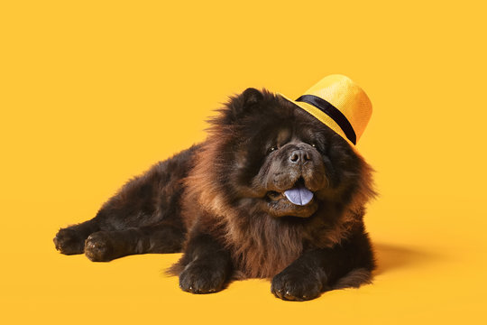 Cute Chow-Chow dog wearing hat on color background