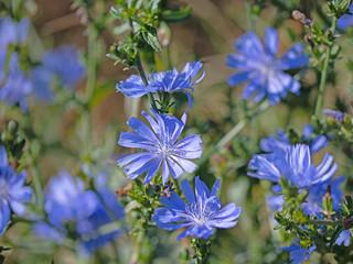 Blühende Wegwarte, Cichorium intybus