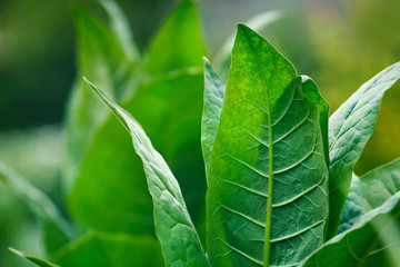 Tobacco green leafs on a tobacco plantation field. Closeup.