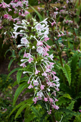 Morina longifolia a pink white evergreen, summer flower plant commonly known as long leaved whorlflower