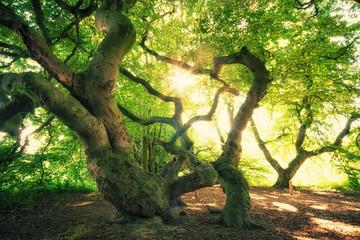 Alte Buchen im Süntelbuchen Wald