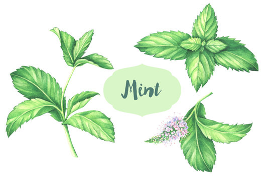 Watercolor mint collection. Mint leaf with mint flower isolated on white.