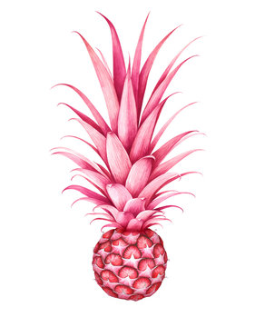 Pink pineapple isolated on white. Hand drawn watercolor illustration.