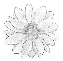Hand drawn Sunflower illustration in lines isolated on white.
