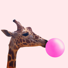 Photo sur Aluminium Girafe Creative giraffe. Look of youth. Animal with the pink bubblegum on coral background. Negative space to insert your text. Modern design. Contemporary art. Creative conceptual and colorful collage.