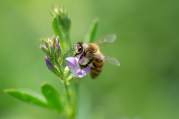 Honey bee pollinates alfalfa flower on natural background