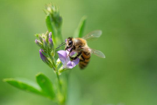 Honey bee pollinates alfalfa flower on natural background