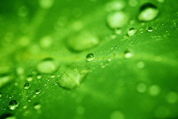Drops of transparent rain water on a green leaf close up. Beautiful nature background.