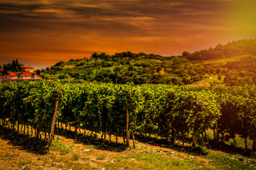 Garden Poster Vineyard Vineyard and grapes bushes in rows. Beautiful sun in the sky