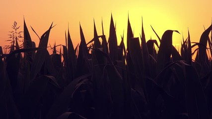 Wall Mural - Corn field at sunset