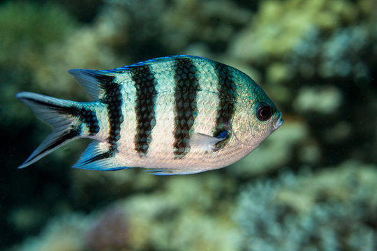 The scissortail sergeant or striptailed damselfish, Abudefduf sexfasciatus