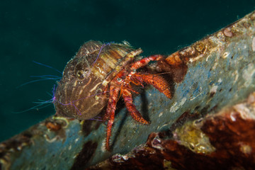 Dardanus calidus is a species of hermit crab from the East Atlantic (Portugal to Senegal) and Mediterranean Sea