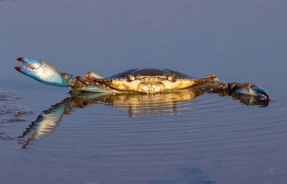 Atlantic Blue Crab (Callinectes sapidus) in shallow water of tidal marsh, Galveston, Texas, USA, North America
