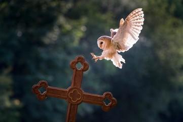 Barn owl (Tyto alba), captive, landing on a cross, Vulkaneifel, Germany, Europe