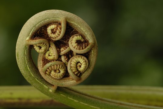 Coiled Frond (Pteridopsida)