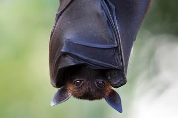 Indian flying fox or greater Indian fruit bat (Pteropus giganteus) hanging, captive
