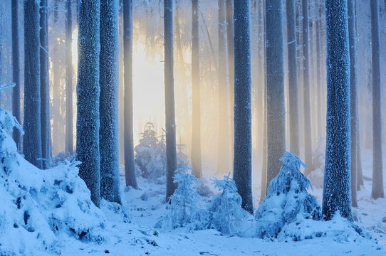 Thick snow-covered winter forest, Horben, Aargau, Switzerland, Europe
