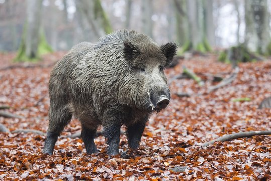 Wild boar (Sus scrofa), tusker