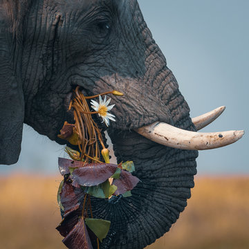 Close up view of elephant eating plants