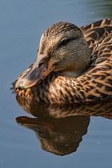 Ente schwimmt in einem Teich