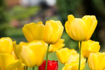 Tulpe Postkarte Gelb, Rot
