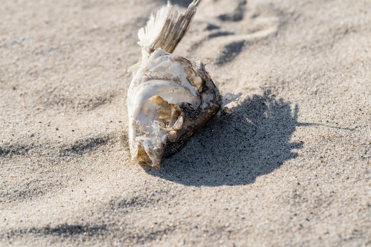 dried fish skeleton lying on the sand