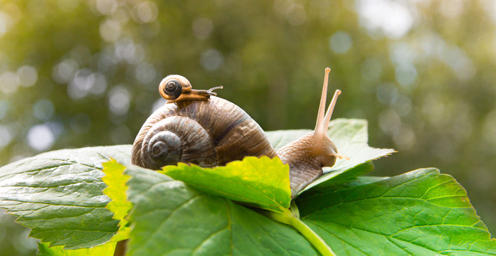 a big snail crawls on a green leaf and a small snail crawling on it with a baby with beautiful horns and a shell against the green bokeh of the forest