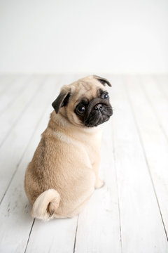 An adorable pug puppy sitting on white wood background looking back