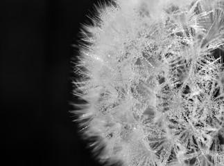 Close-up of a dew studded dandelion head