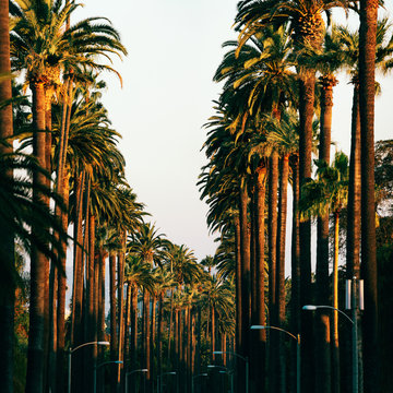 Los Angeles Palm Trees in Warm Sunset Light